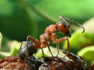 Рабочие муравьи