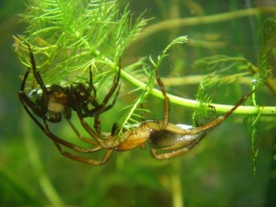 Изучение пауков: Argyroneta aquatica Paar