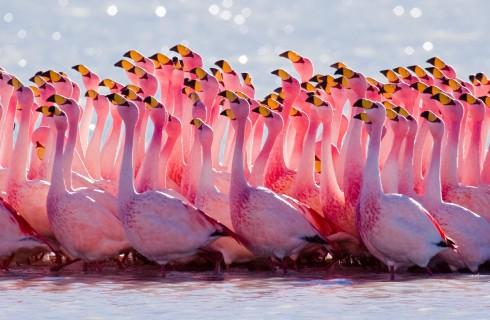 Фламинго заполонили Индию