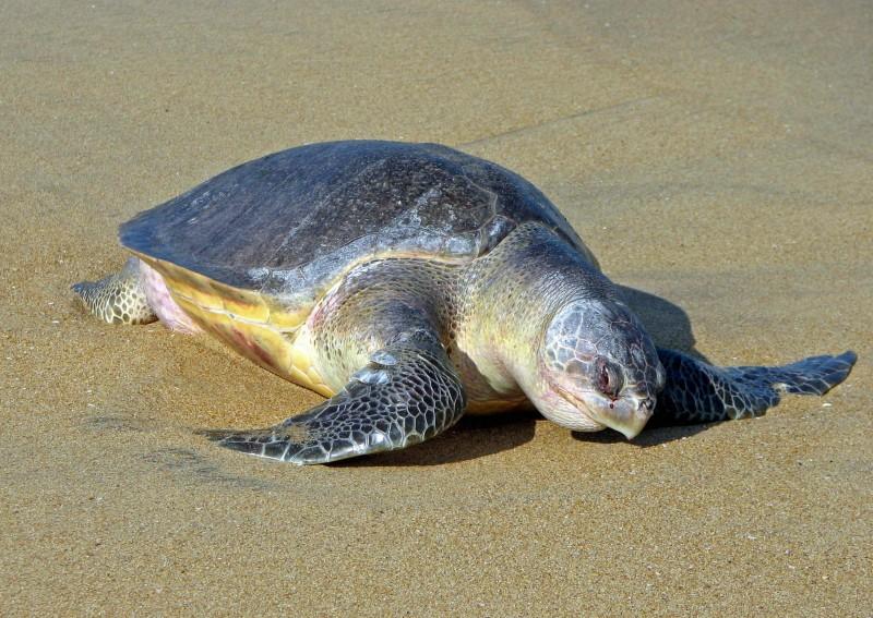 Оливковые черепахи увидели море