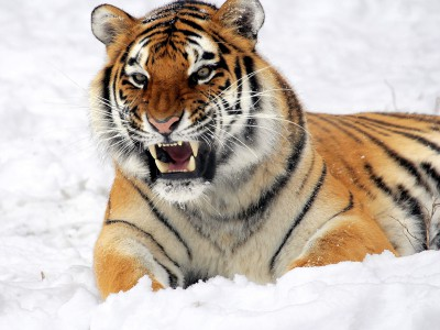 Добычу полезных ископаемых вели в тигровом заповеднике