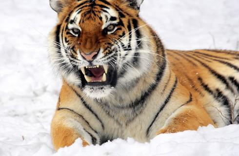 Зачем в тигровый заповедник пришли власти?