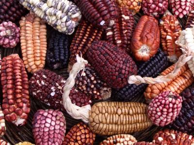Генетически модифицированная кукуруза