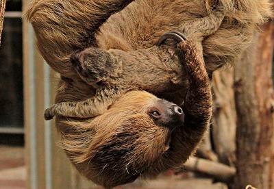 Ленивцы  Мэрлин и ее малыш