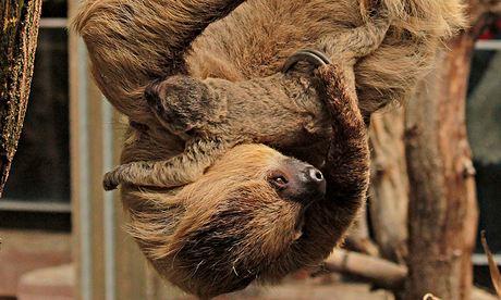 Ленивцы удивили смотрителей