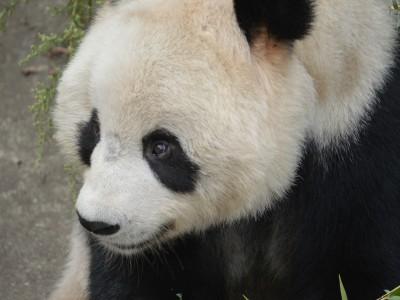 Панды в Малайзии