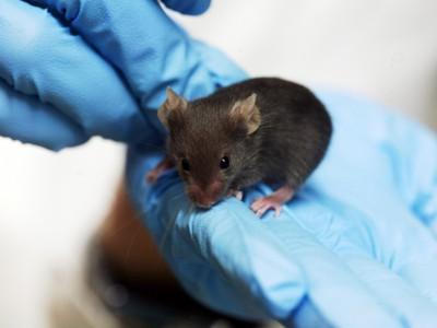 Переливание крови у мышей