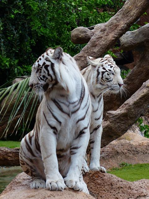 Особый подход к разведению тигров