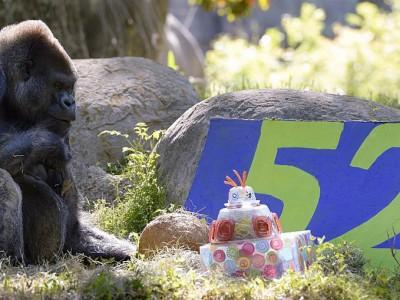 День рождение гориллы Оззи в 2013 году