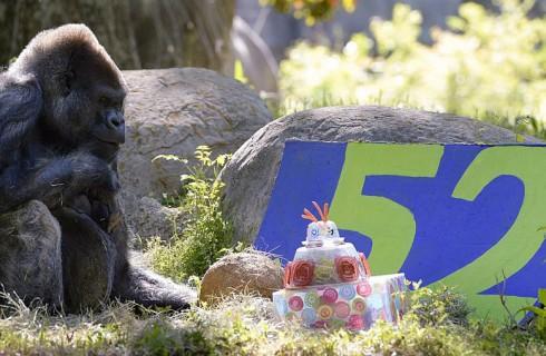 Как отмечают гориллы дни рождения