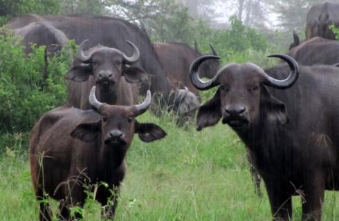 Клонированные буйволы пойдут по планете