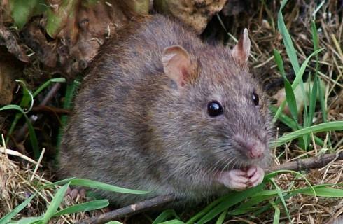 Крысы способны сожалеть
