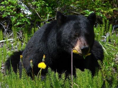 Еда медведей стала разнообразной