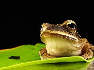 Язык лягушек способен поднимать огромный вес