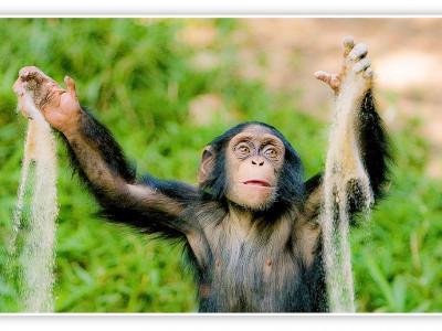 Шимпанзе побогли ученым изучить обезьяний язык