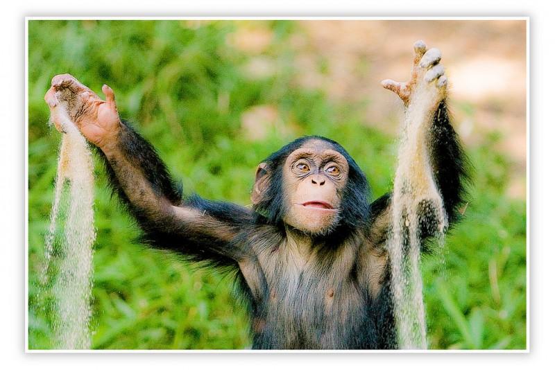Создан словарь языка шимпанзе