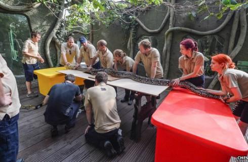 Ученые обследовали гигантского питона