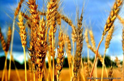 Пшеница провоцирует бэби-бум