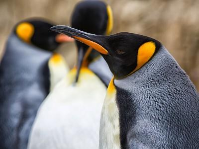 Звуки пингвинов интересуют ученых