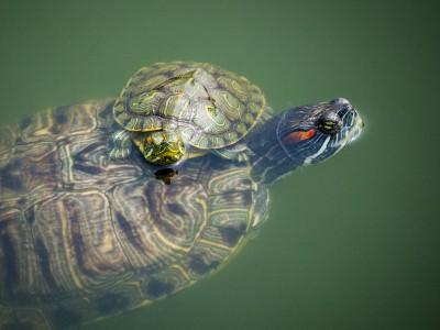 Звуки черепах интересуют ученых