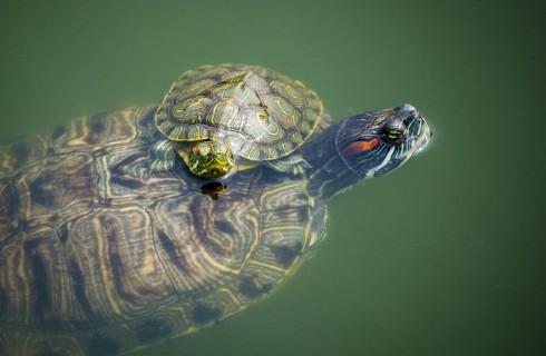 Какие сигналы посылают черепахи