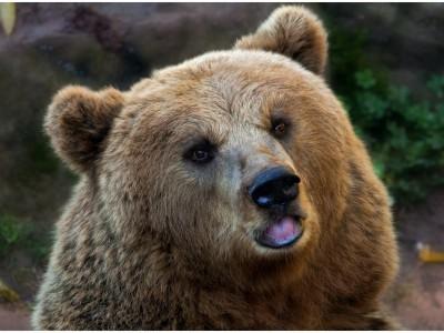 Медведи вернулись в Чернобыль
