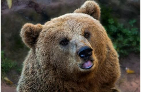 Бурые медведи вернулись в Чернобыль