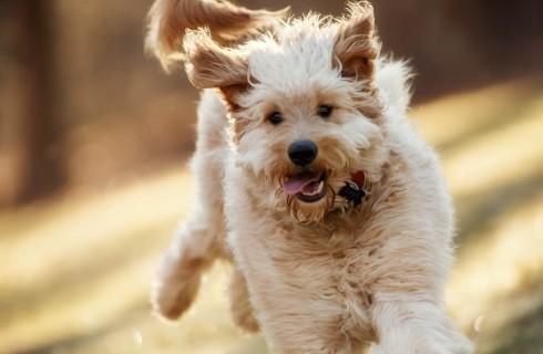 В поисках вечной жизни ученые пришли к собакам