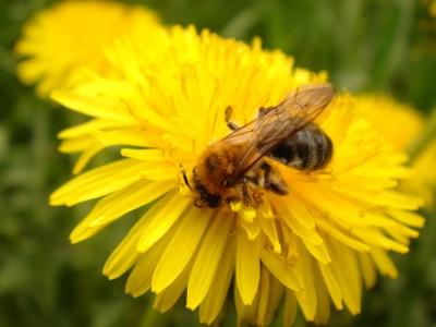 Угрозой для пчел является вирус Nosema ceranae