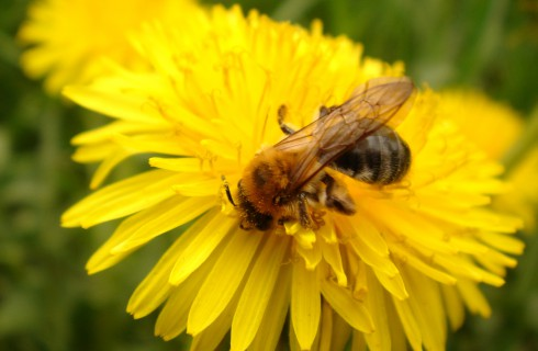 Пчелы находятся на грани вымирания