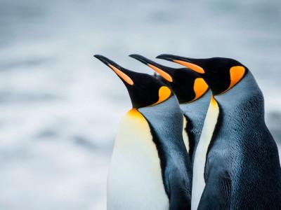 Пингвиненок-робот позволяет изучать пингвинов