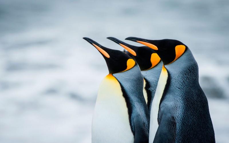 Пингвины не отказываются от своих