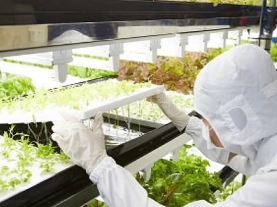Toshiba выращивает экологически чистый салат