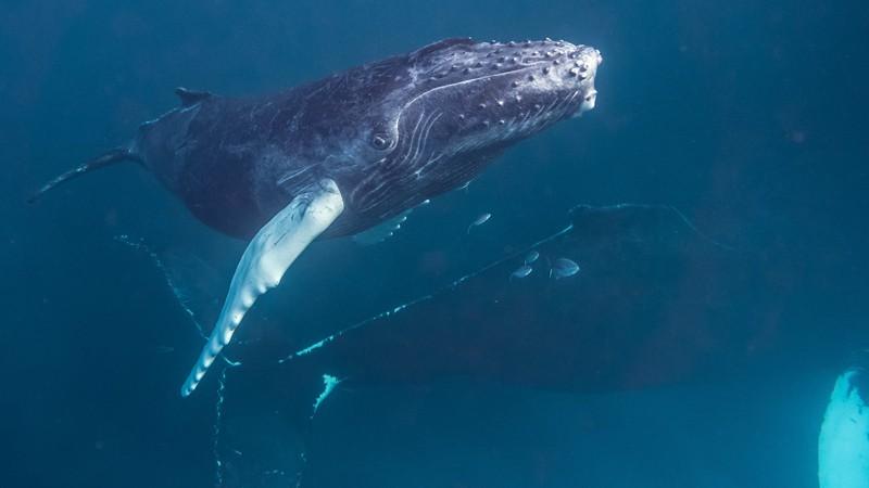 Раскрыта загадка ужина горбатых китов