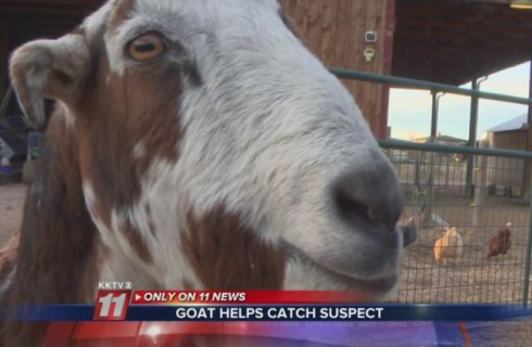 Коза помогла поймать преступника