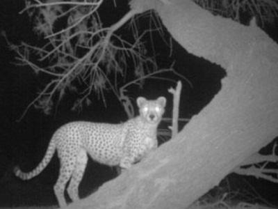 Гепарды в Сахаре