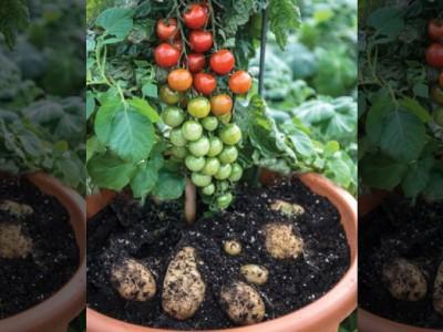 Гибрид картофеля и томата