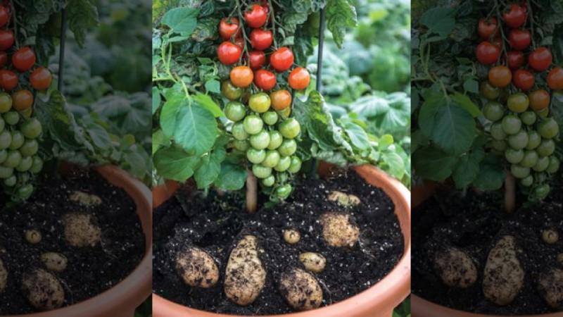 Как собрать картофель и помидоры с одного растения