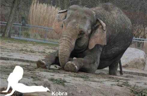 Йога доступна даже слонам