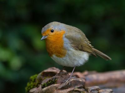 Национальная птица Великобритании: ей может стать малиновка