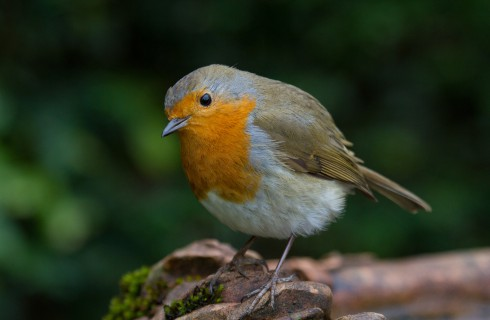 Британцы ищут национальную птицу