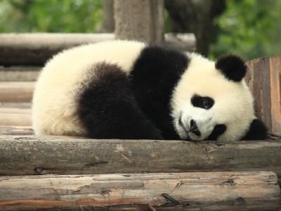 Увеличение популяции гигантских панд