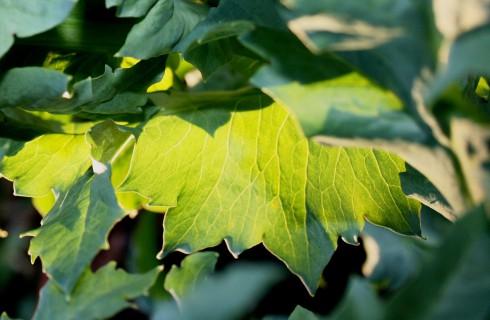 Листья подсказали выход из топливного кризиса