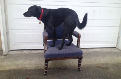 Собака на стульях помогает людям