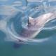 Морские свиньи скрывали от ученых звуковые фонари