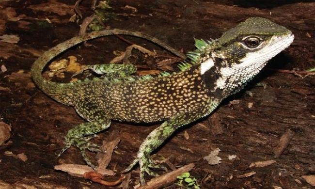 Неизвестный вид дракона прятался в Андах