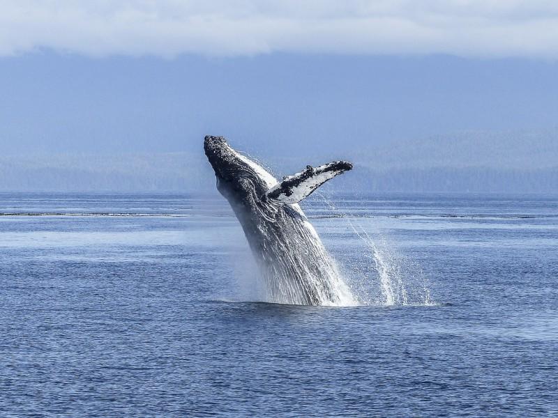 Горбатые киты больше не исчезающий вид