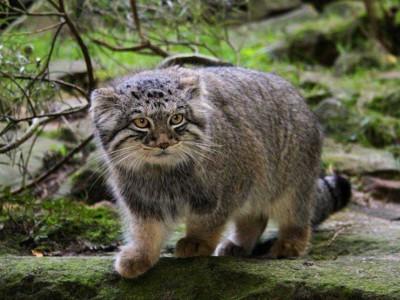 Антивирус Manul получил свое название в честь  представителя семейства кошачьих — манула.