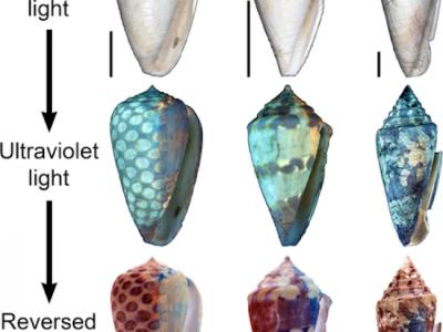 Цвета древних ракушек в ультрафиолетовом свете