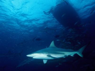 Эндотермические рыбы: акула